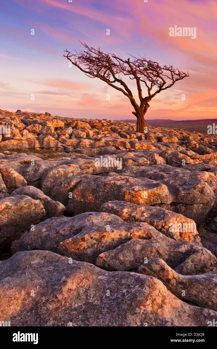 Tree growing through the Limestone Pavement at Twistleton Scars, Yorkshire Dales, England, GB, UK, EU, Europe Stock Photo