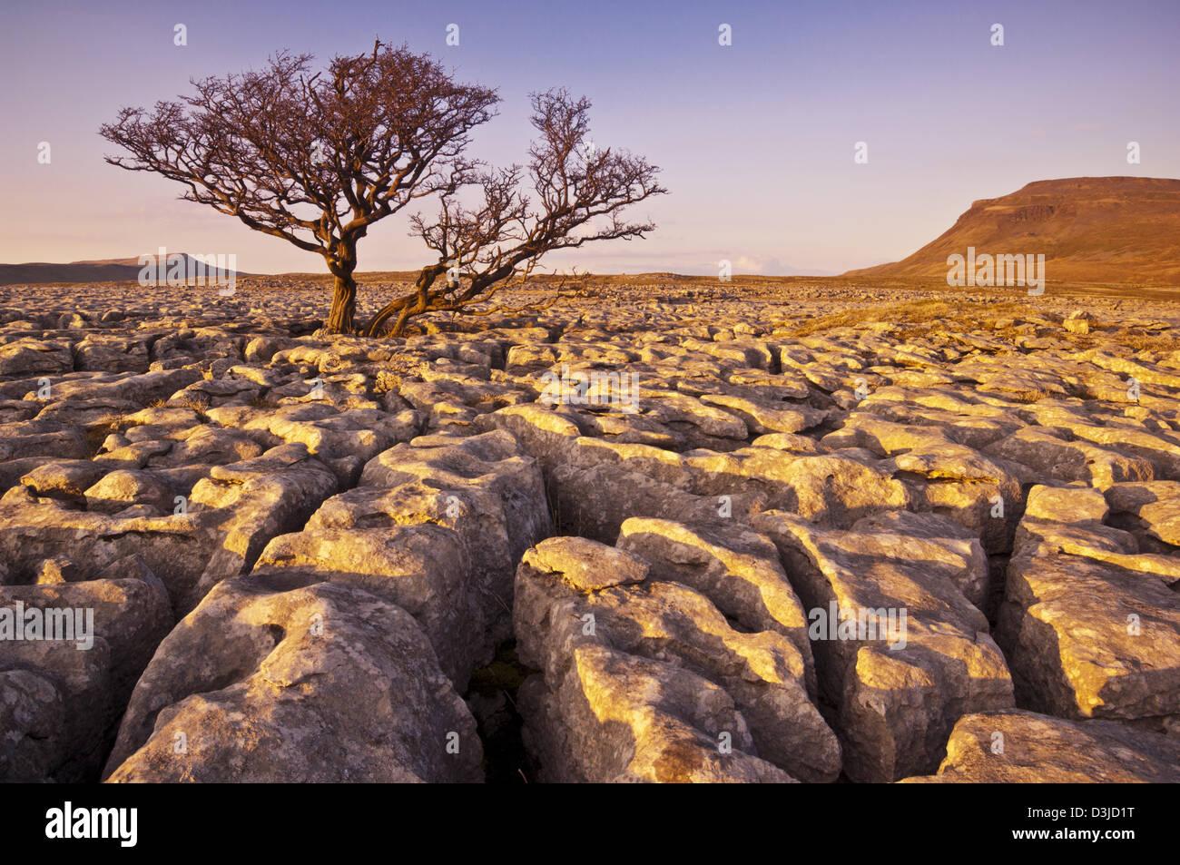 Tree growing through the Limestone Pavement at White Scars Ingleborough Yorkshire Dales, England, GB, UK, EU, Europe - Stock Image