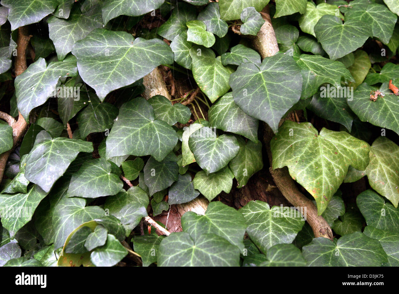 (dpa) - Ivy leaves pictured in Herreninsel, Germany, 14 September 2004. - Stock Image