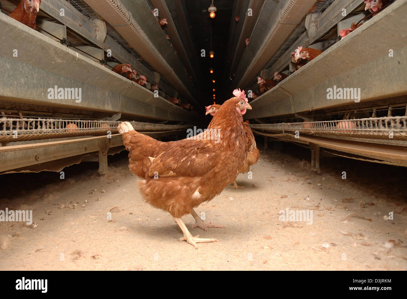 (dpa) - Laying hens in a laying battery in Germany on 22 December 2004. These chickens have escaped from a broken - Stock Image
