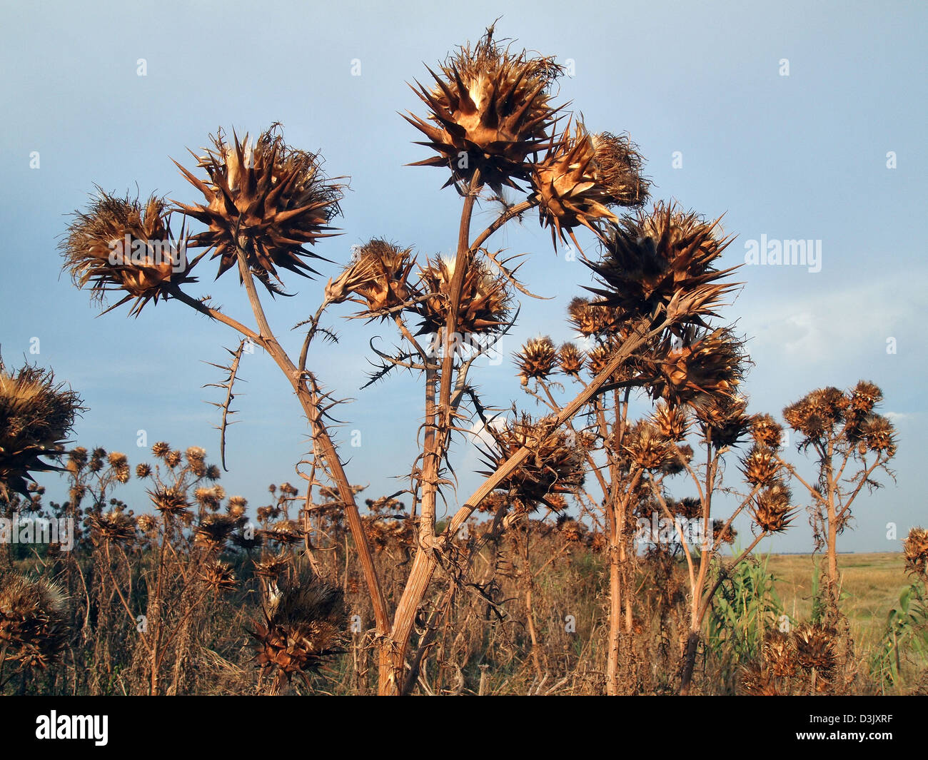 dry thistles in Tuscany, Italy - Stock Image