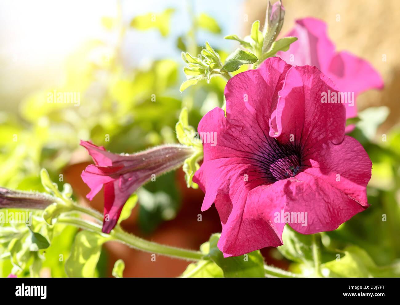 Pink flower Petunia Surfinia Vein in garden - Stock Image