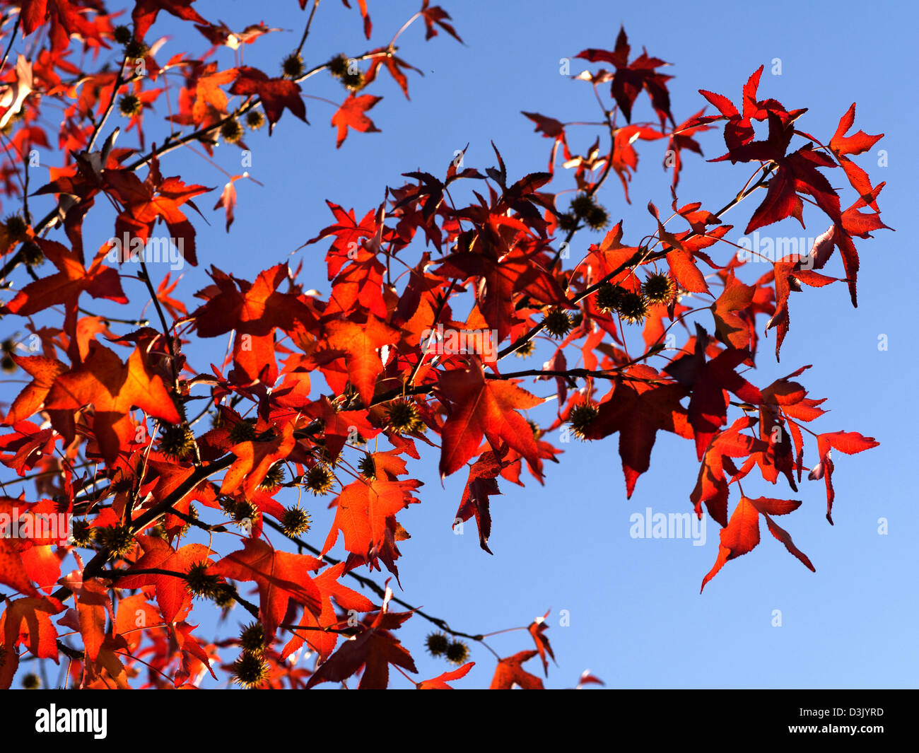 red leaves against a blue sky in autumn in Italy - Stock Image