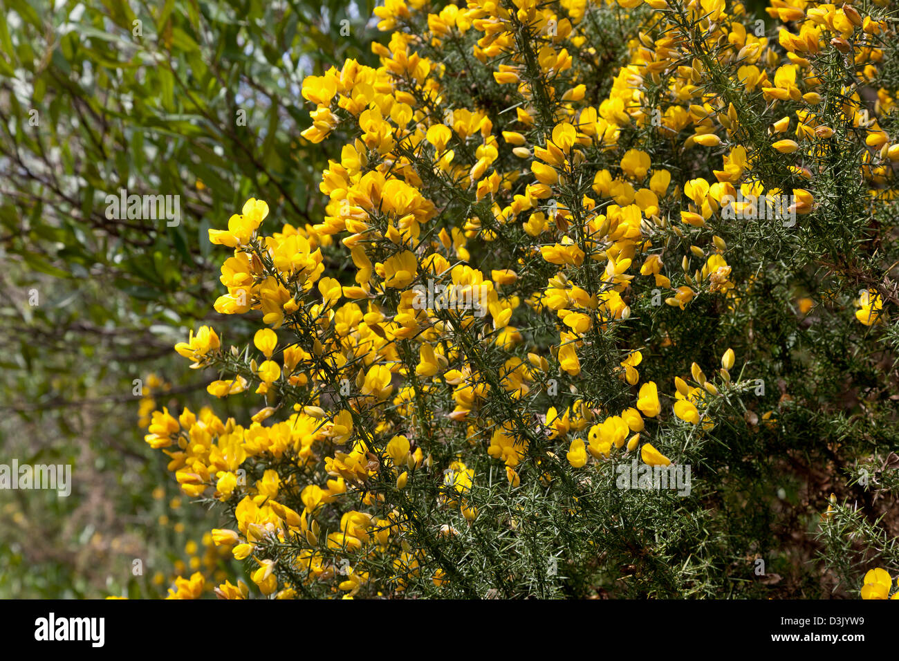 Yellow gorse in Abel Tasman National Park, New Zealand - Stock Image