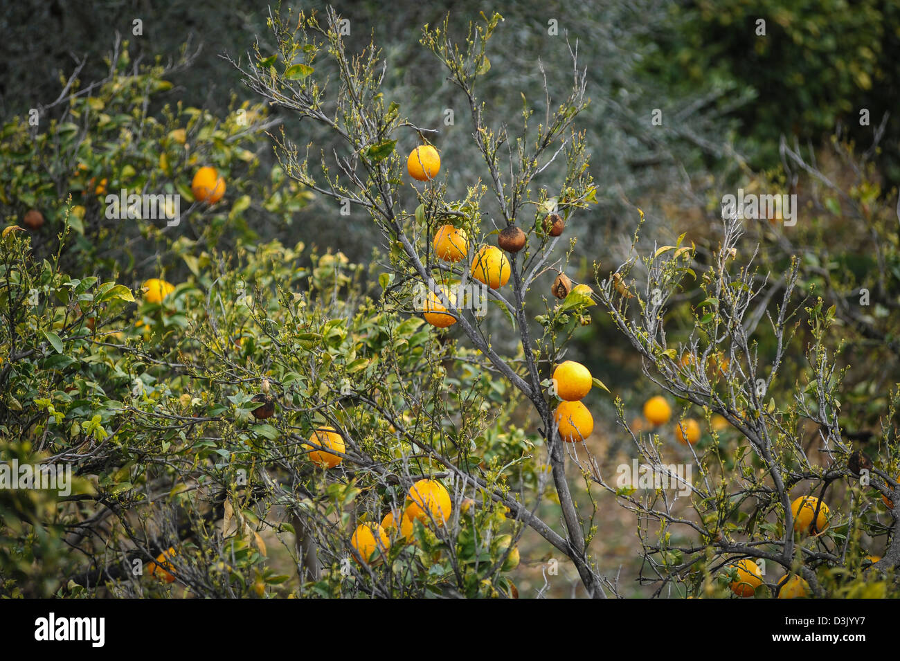 Oranges growing in springtime some of the fruit is black from frost damage. Andalusia Spain. - Stock Image