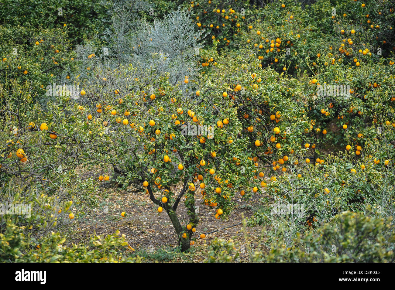 Oranges growing in springtime, Andalusia Spain. - Stock Image