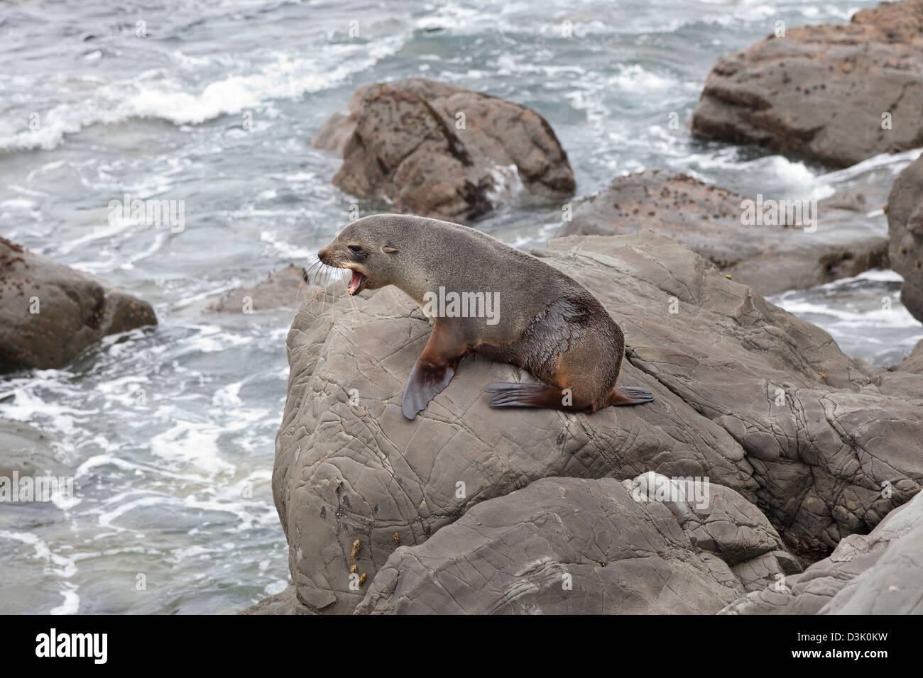 Fur seal on the cliffs near Kaikoura, New Zealand - Stock Image