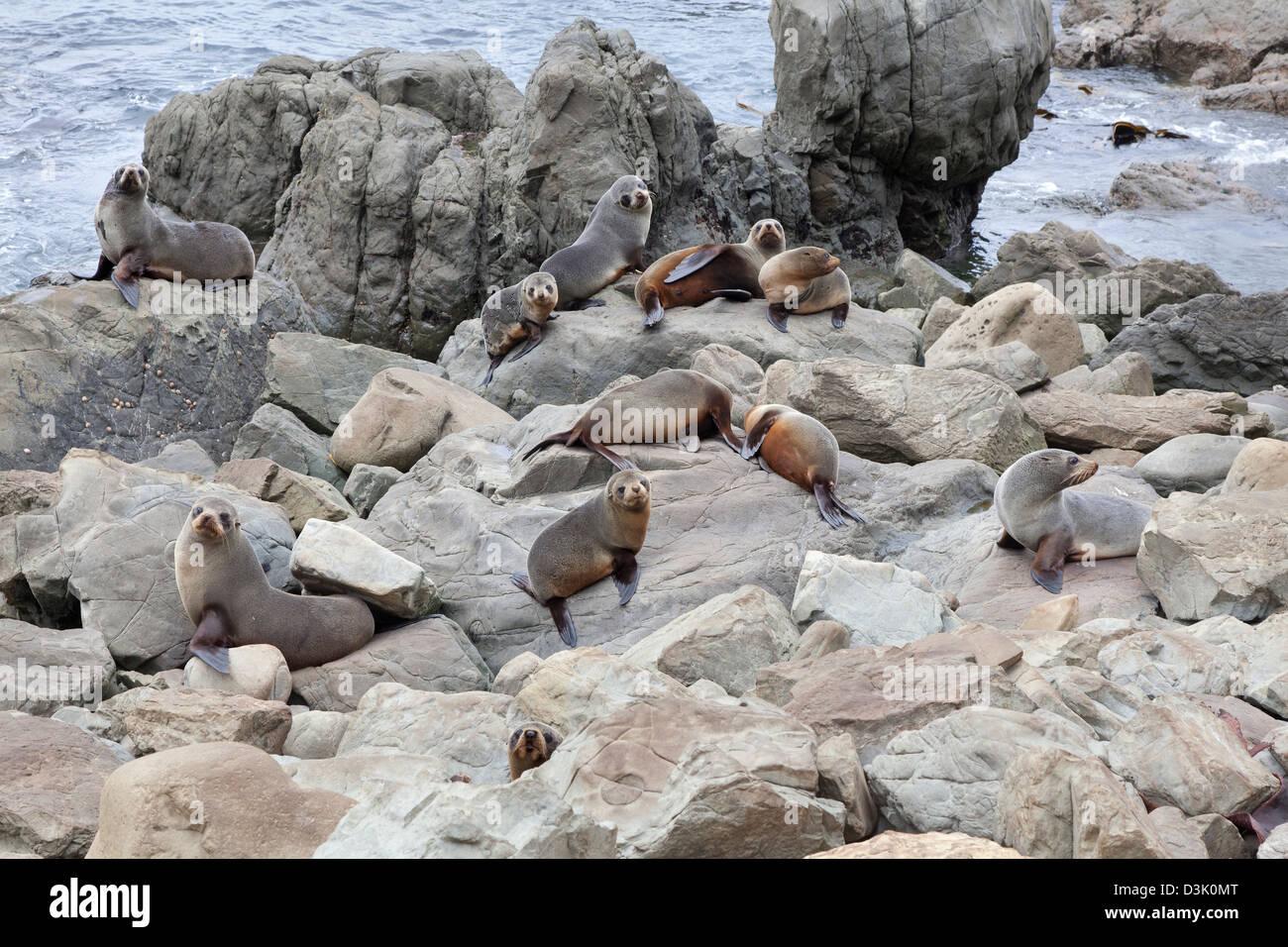 Fur seals on the cliffs near Kaikoura, New Zealand - Stock Image