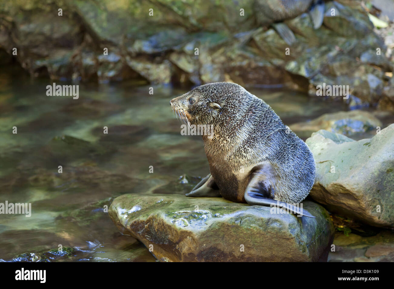 Yawning Ohau Streams seal pup sitting on a rock, New Zealand - Stock Image