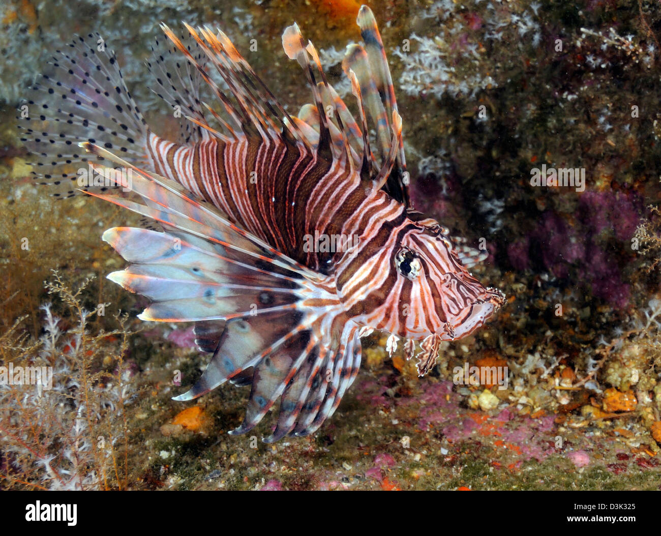 Invasive Indo-Pacific lionfish on wreck in North Carolina. - Stock Image