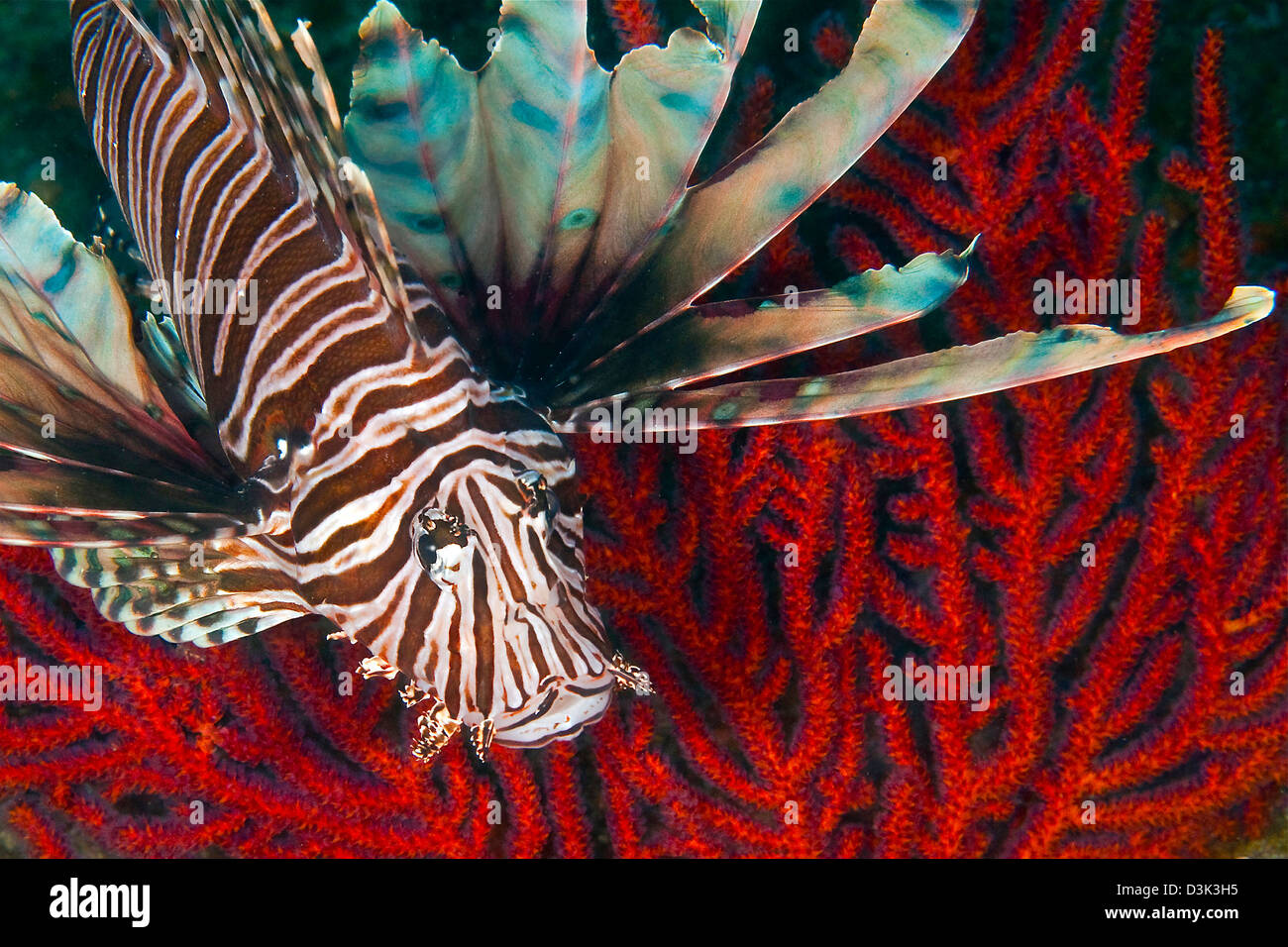 An Invasive Indo-Pacific Lionfish off the coast of North Carolina in the Atlantic Ocean. - Stock Image