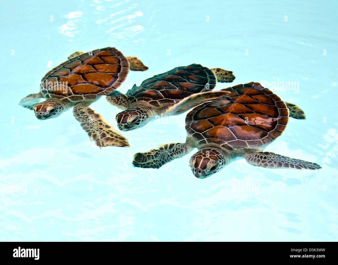 Baby Green Sea Turtle Mexico Stock Photos & Baby Green Sea ... - photo#17