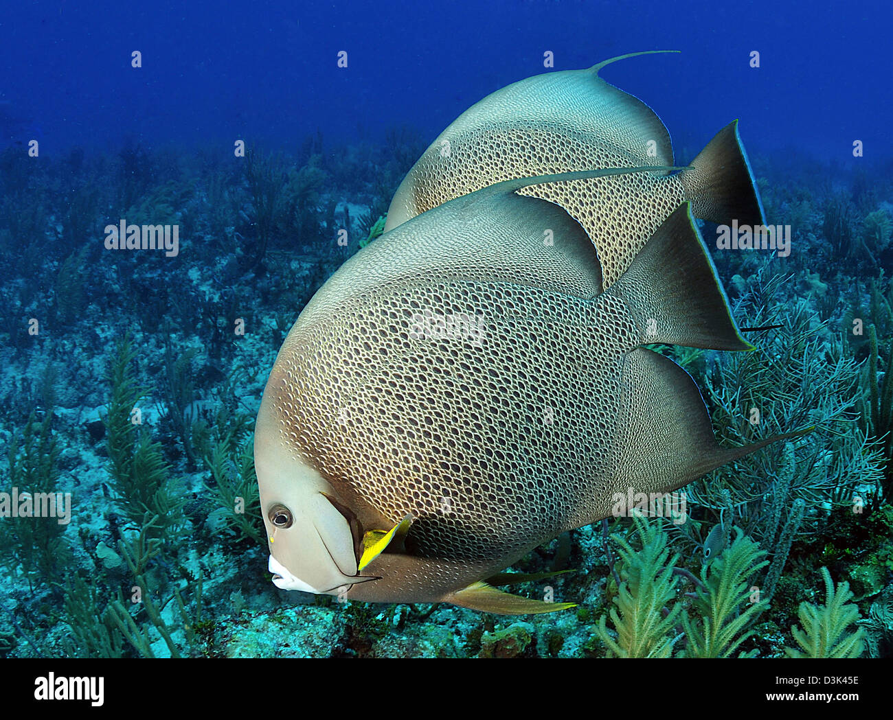 A pair of Gray Angelfish on a Caribbean reef. - Stock Image
