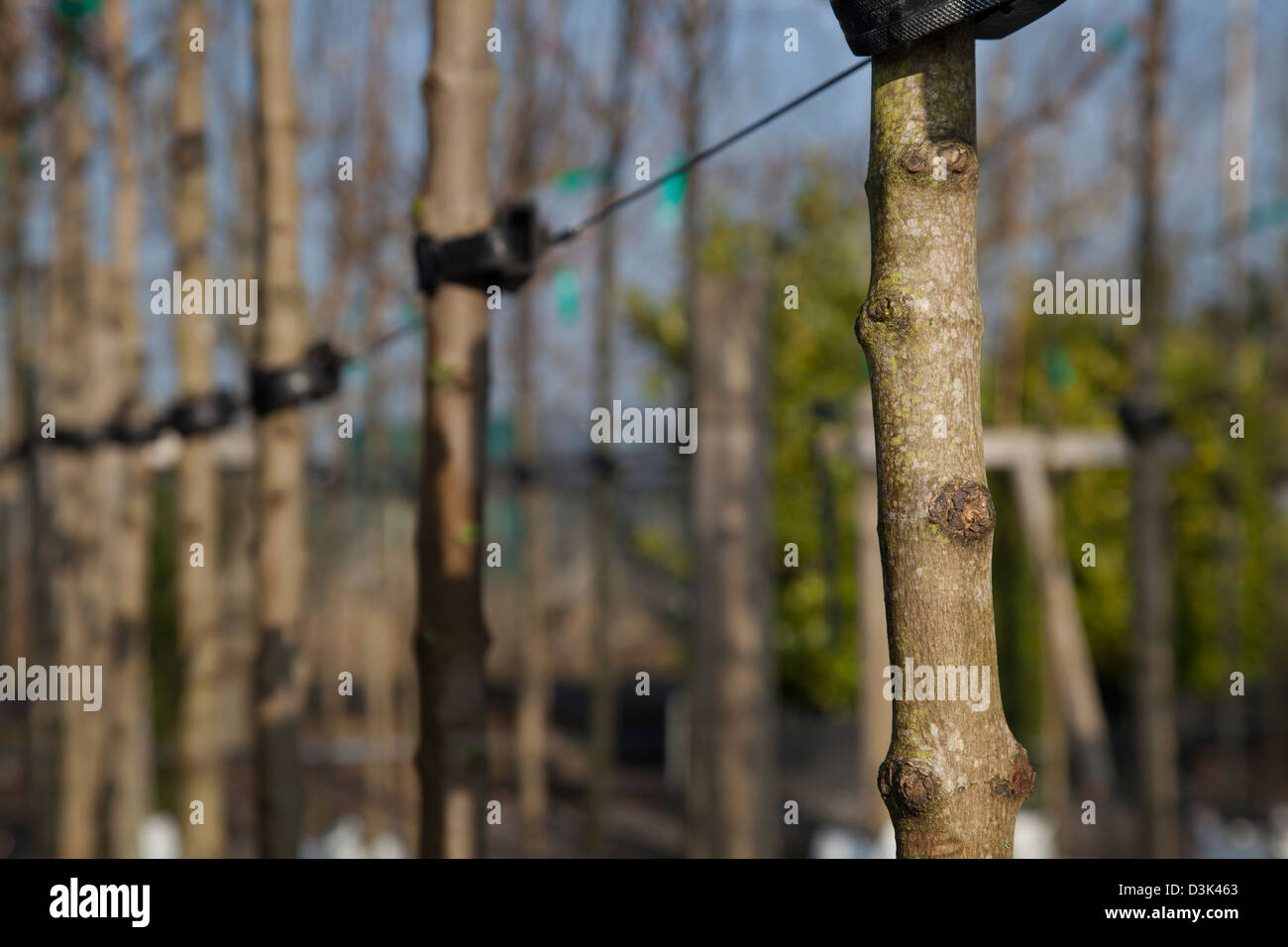 Acer platanoides Olmsted, or Norway Maple for sale at J Jones Nursery in Southport, Merseyside, UK - Stock Image
