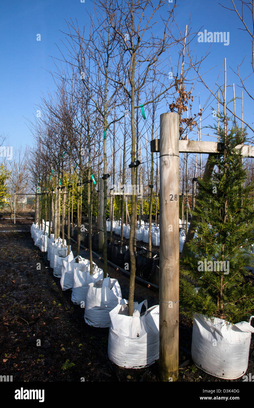 Container grown Amelanchier Canadensis trees for sale at J Jones Nursery in Southport, Merseyside, UK - Stock Image