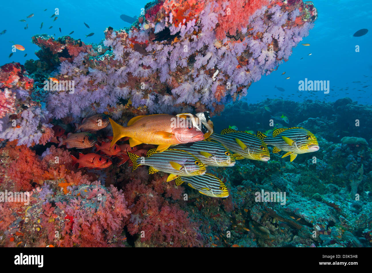 Colourful reef with purple and red hard and soft coral with anthias snapper bigeye and sweetlip fish, Maldives. Stock Photo
