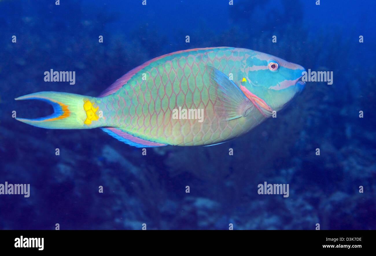 Stoplight Parrotfish on Caribbean reef. - Stock Image