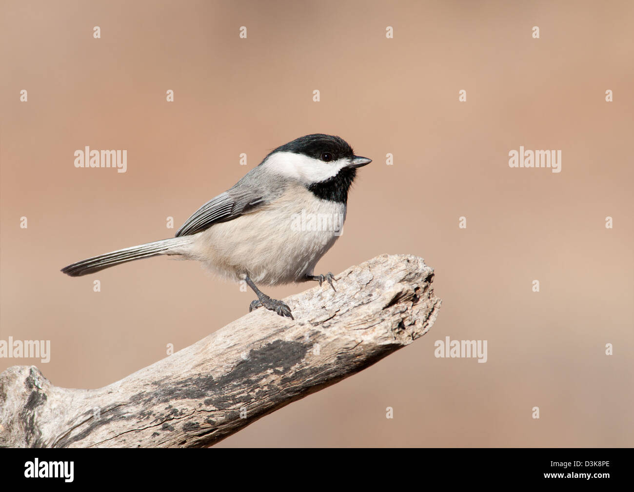 Tiny Carolina Chickadee on a dry limb against muted winter background - Stock Image