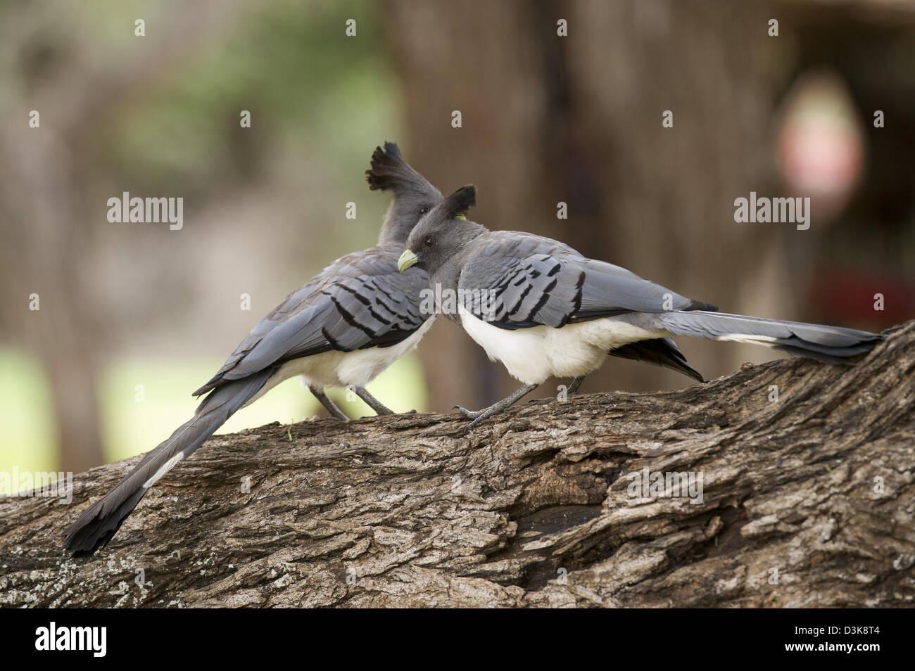 White-bellied go-away-bird, Criniferoides leucogaster, Selenkay Conservancy, Kenya - Stock Image