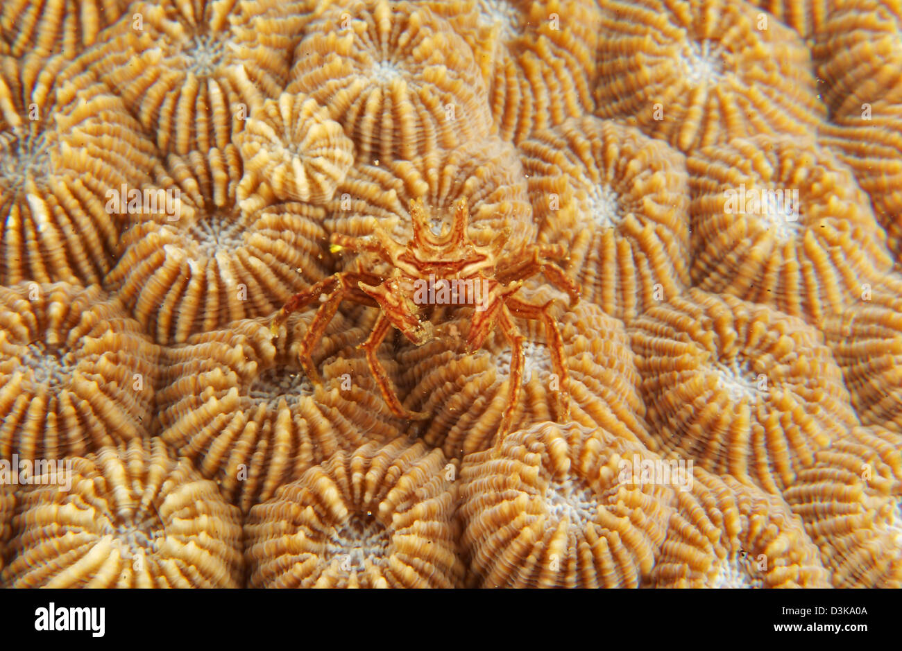 Tiny red and white crab on orange fire coral, North Sulawesi, Indonesia. - Stock Image