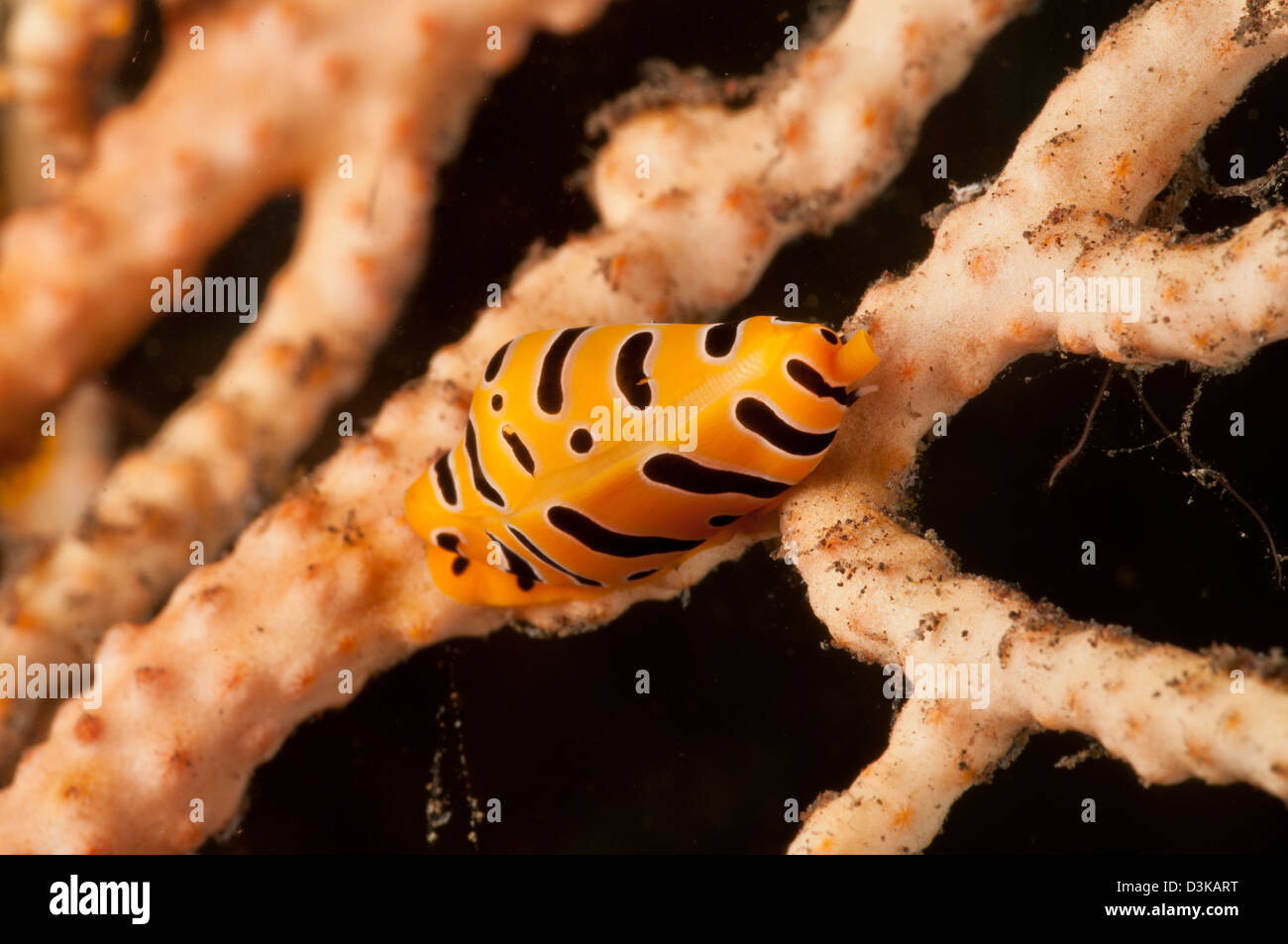 Yellow and black striped tiger cowrie on yellow sea fan, Bali, Indonesia. Stock Photo