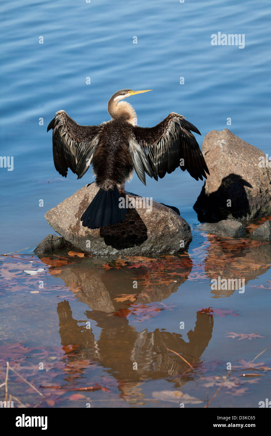 Darter (Anhinga melanogaster) with wings expanded to dry it's feathers at Lake Burley Griffin Canberra Australia - Stock Image