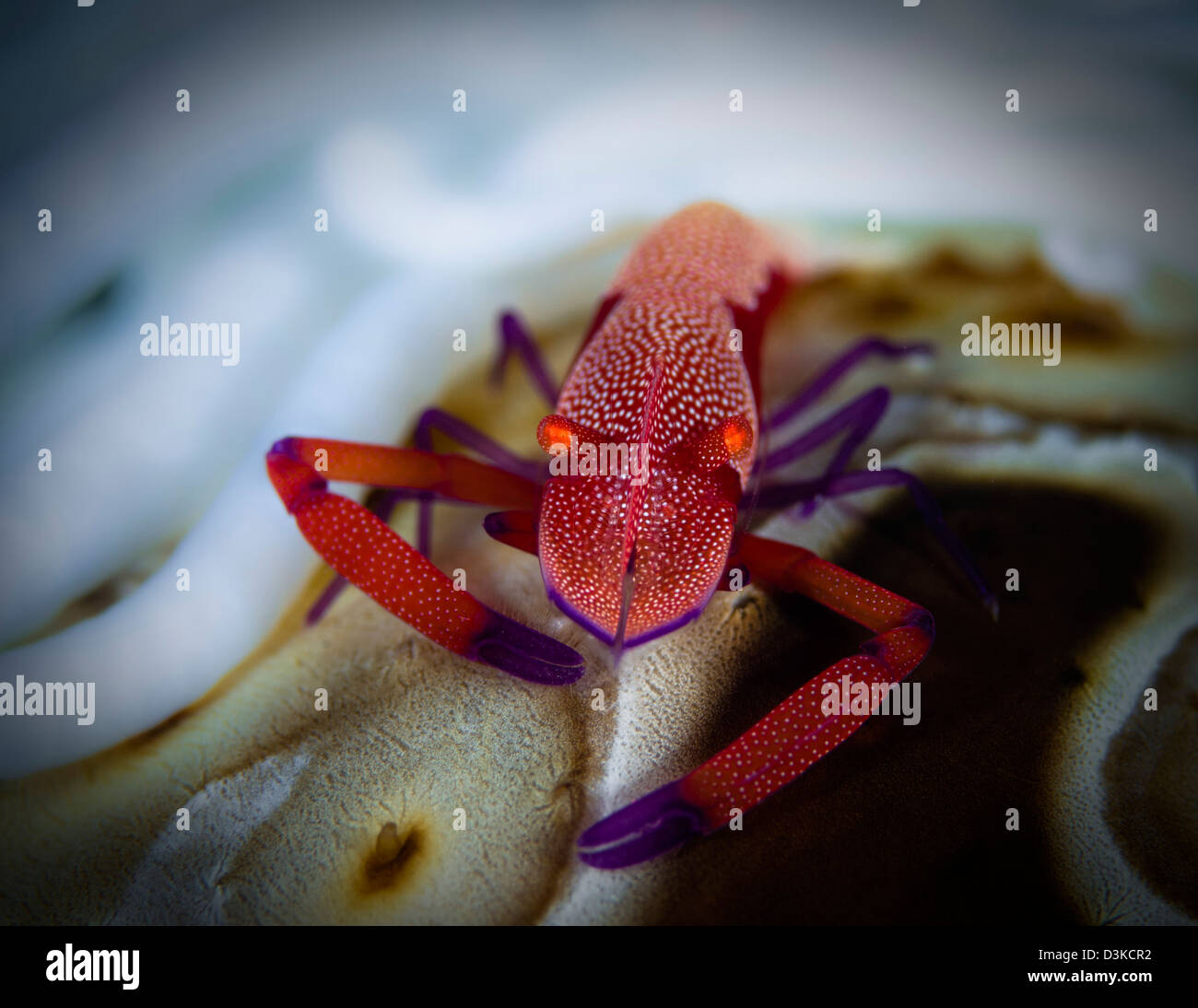 Commensal shrimp, Fiji. - Stock Image