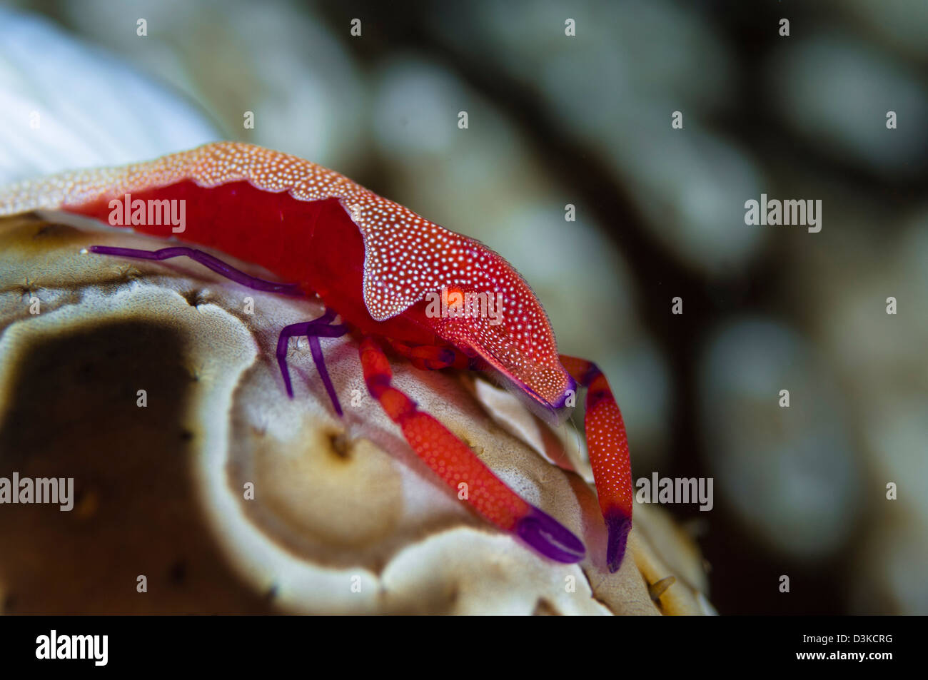 Imperator Commensal Shrimp (Periclimenes imperator) on Eyed Sea Cucumber (Bohadschia argus), Fiji. - Stock Image
