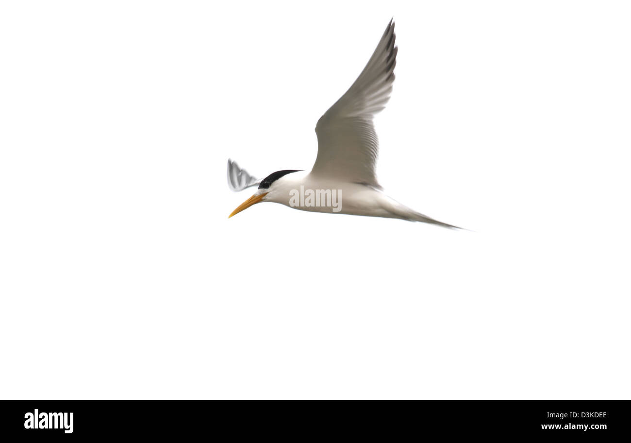 crested tern sterna bergii photographed with a white background ready for cut-out cutout cut out - Stock Image