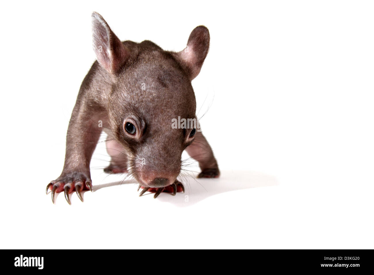 common wombat vombatus ursinus juvenile photographed in a studio with white background ready for cut-out Stock Photo