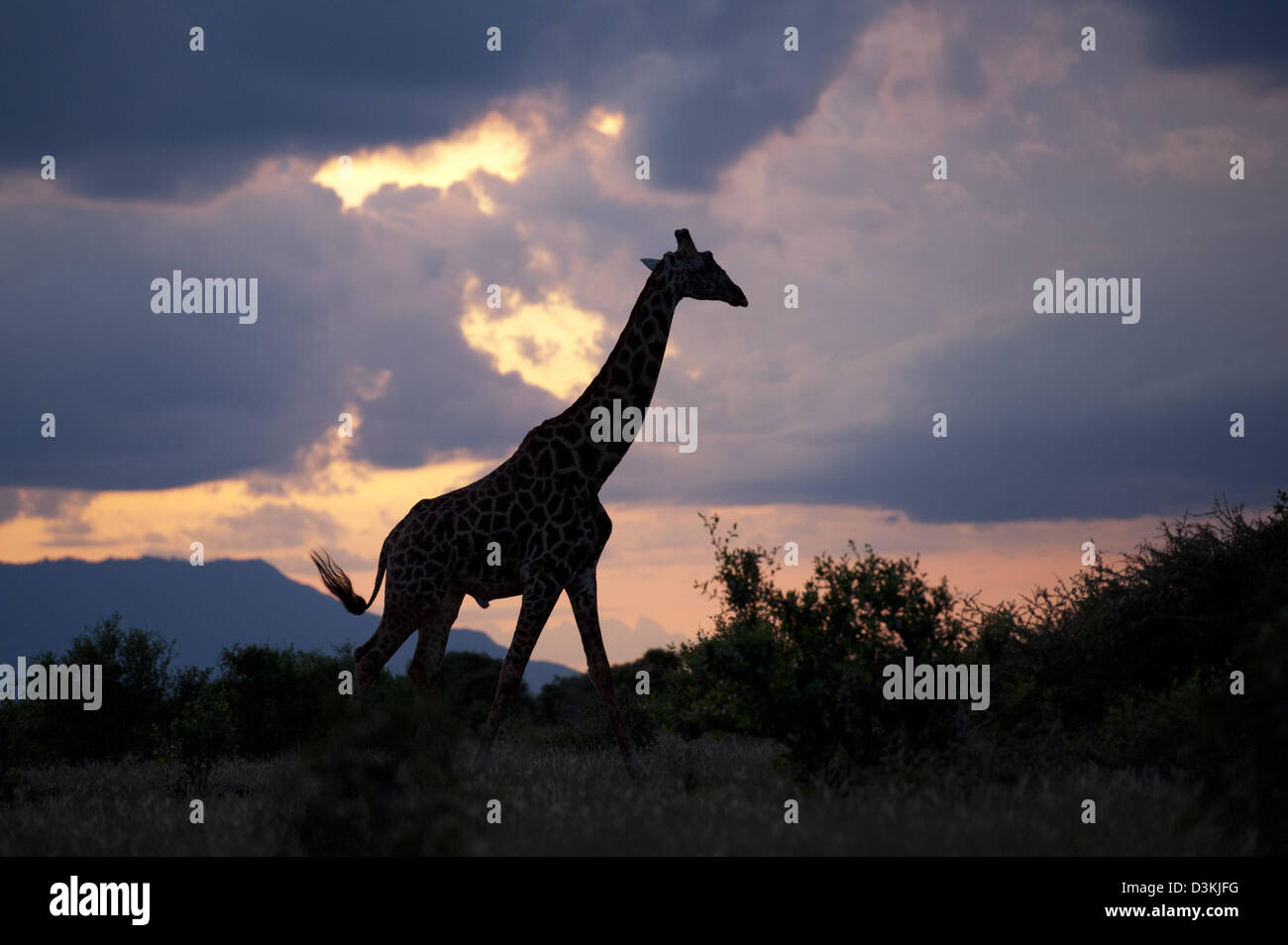 Maasai giraffe (Giraffa camelopardalis tippelskirchi) at sunset, Tsavo East National Park, Kenya - Stock Image