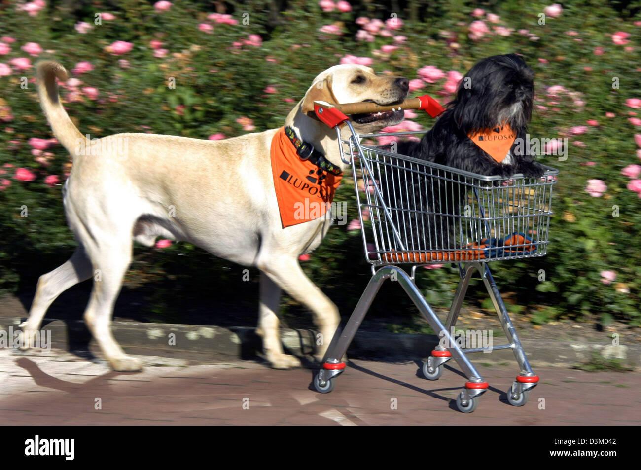 Dpa Labrador Retriever Ben Pushes His Colleague Shih Tzu Dog