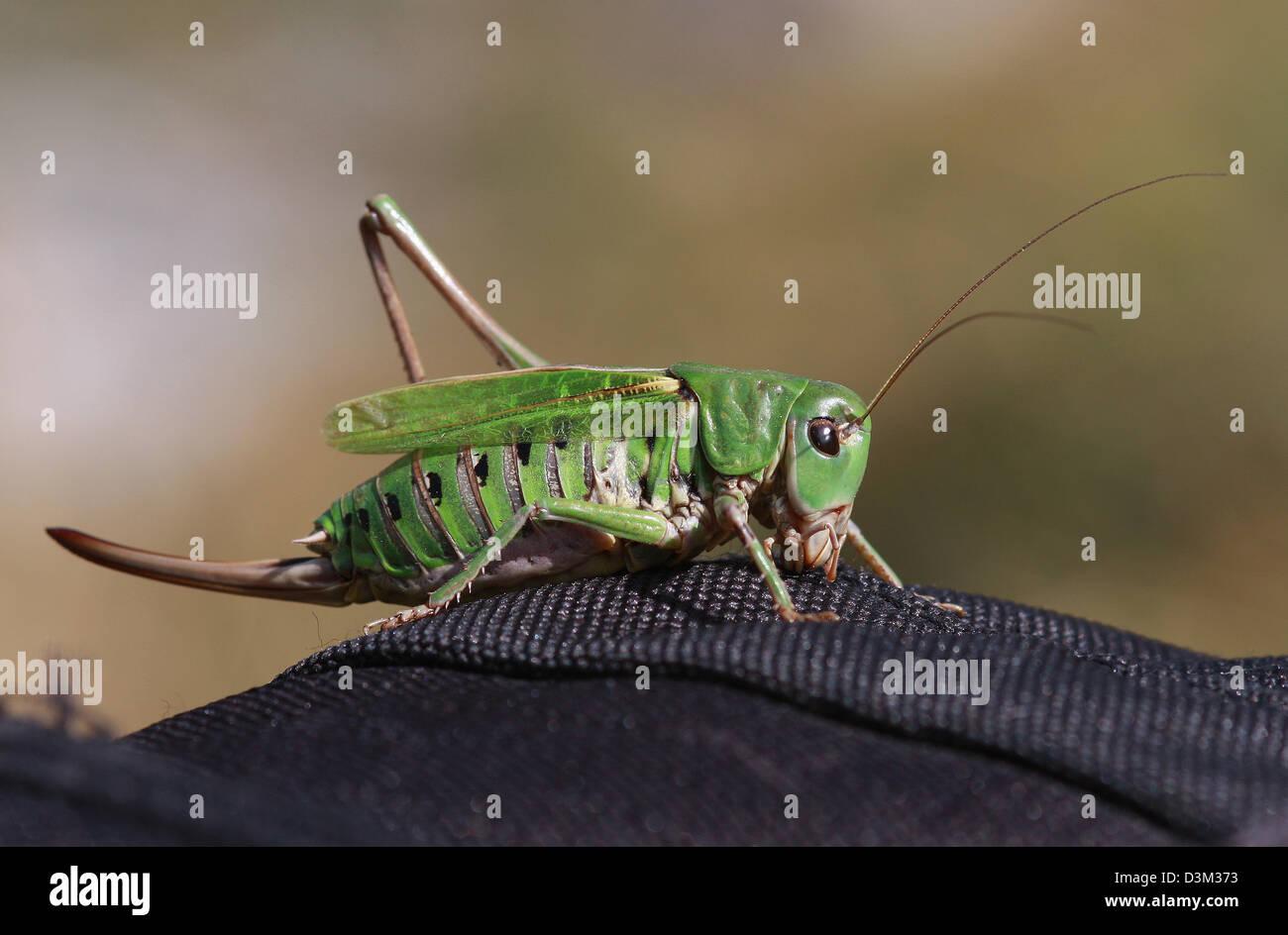 cricket - Stock Image