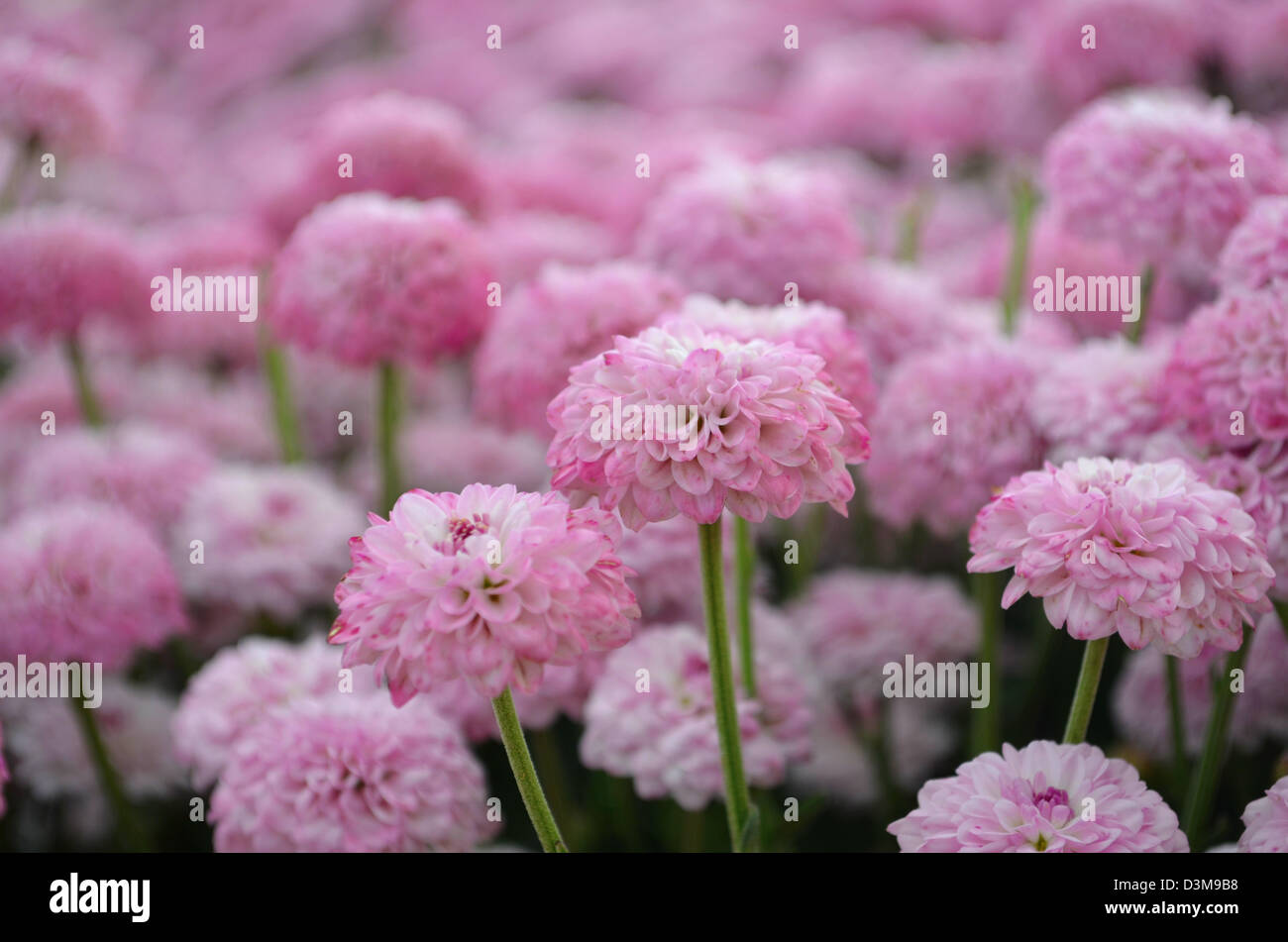 closeup selective focus of pink flowers  - Stock Image