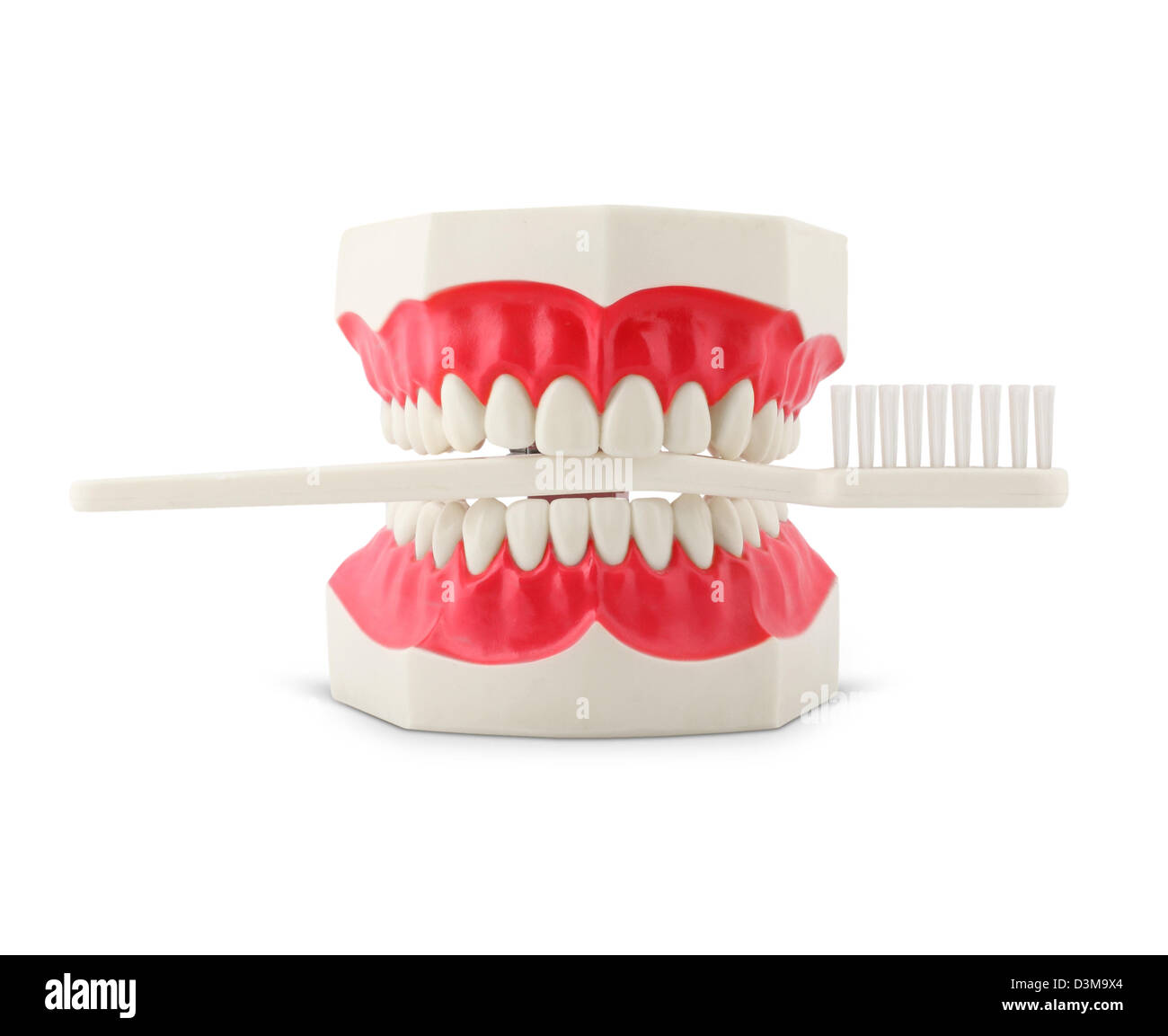 Teeth model with toothbrush isolated on white - Stock Image