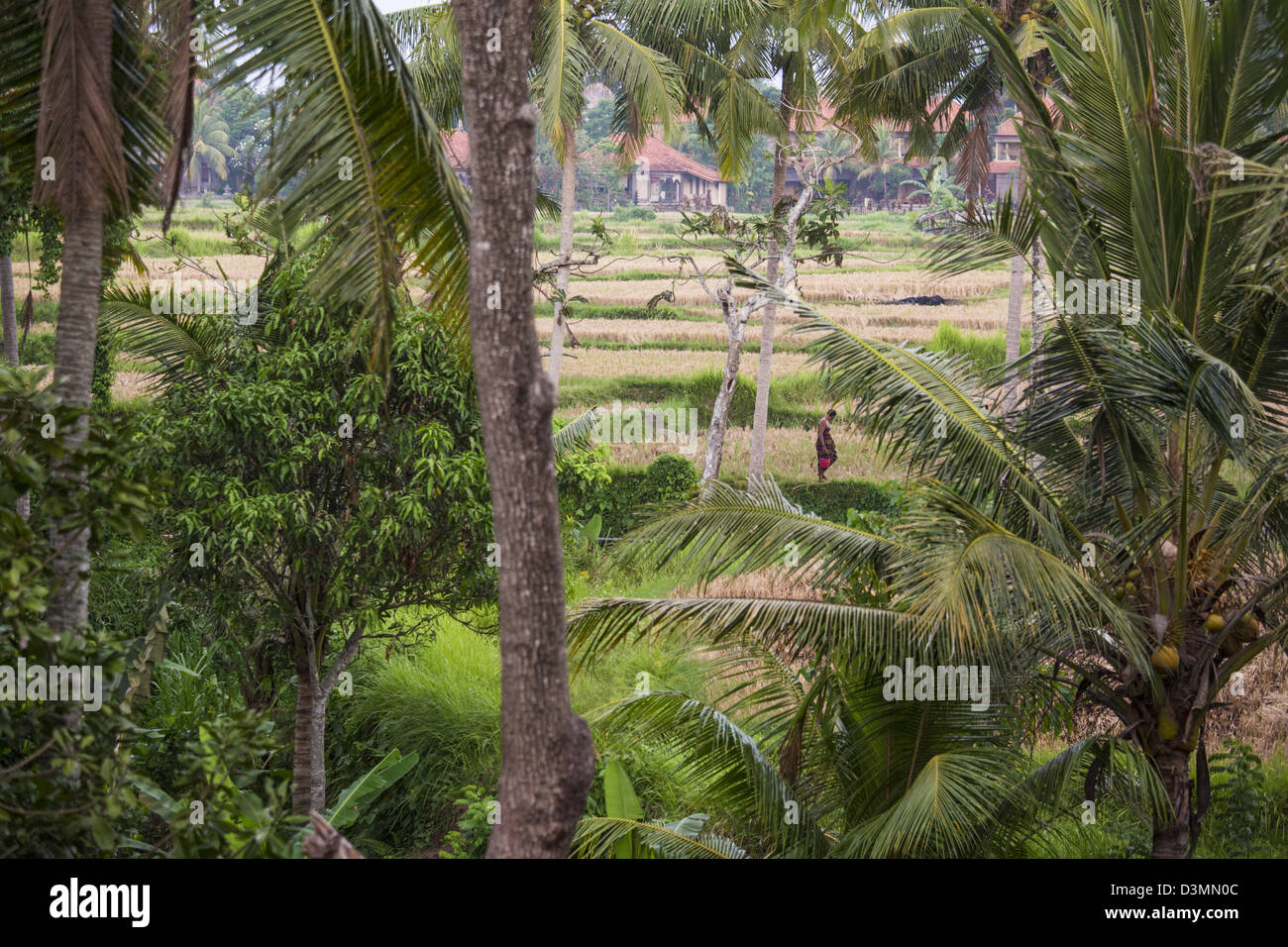 Rice fields in Ubud, Bali - Stock Image