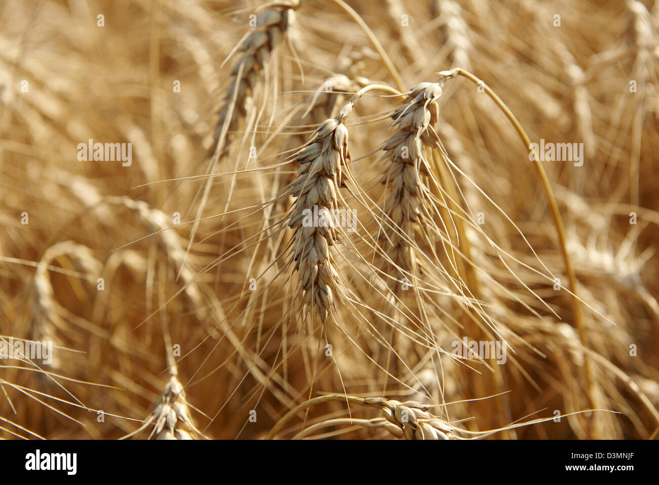 wheat field ready to be harvested - Stock Image