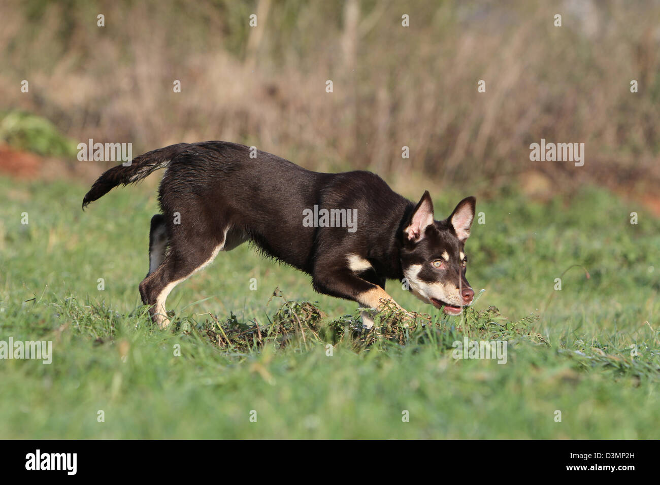 Dog Working Kelpie young running in a meadow Stock Photo