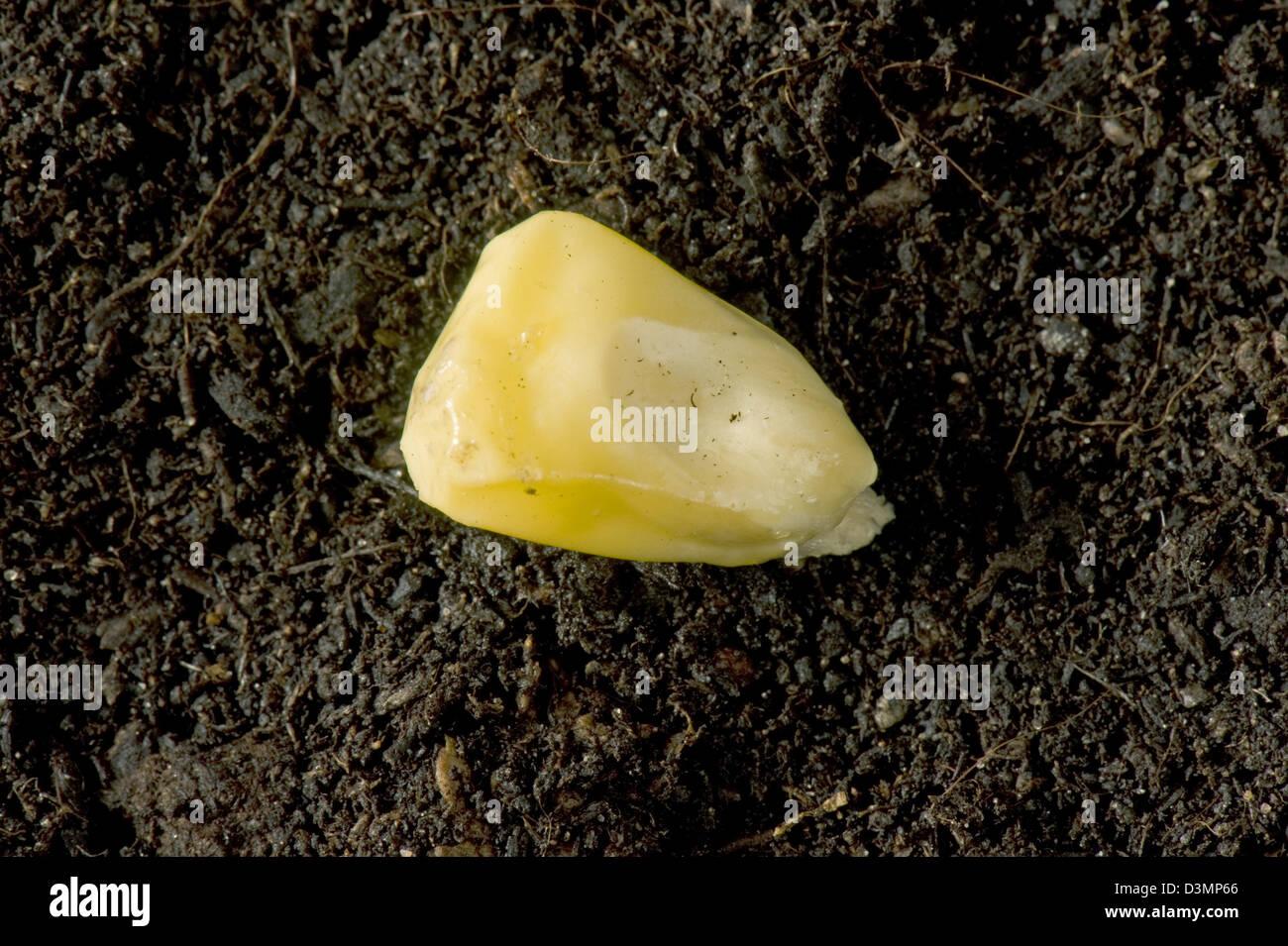 Maize, corn or sweet corn seed, Zea mays, on soil - Stock Image