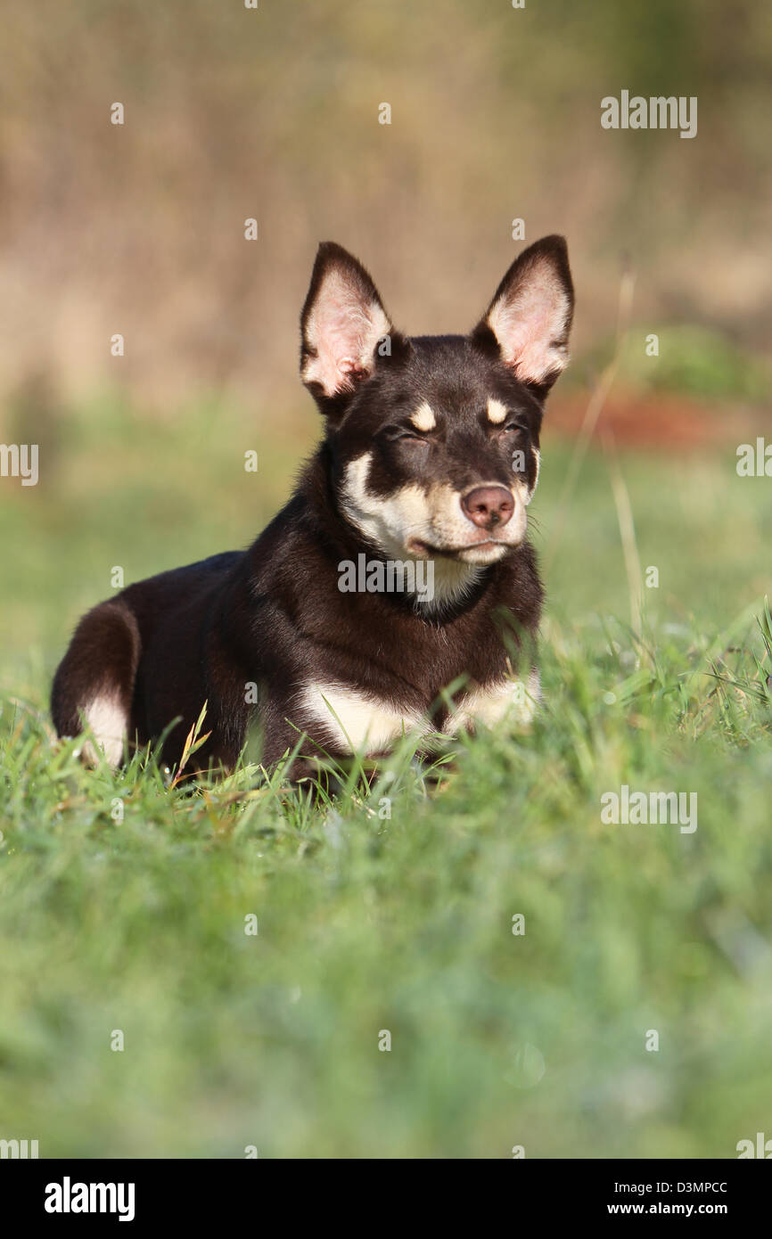 Dog Working Kelpie  young lying in a meadow - Stock Image