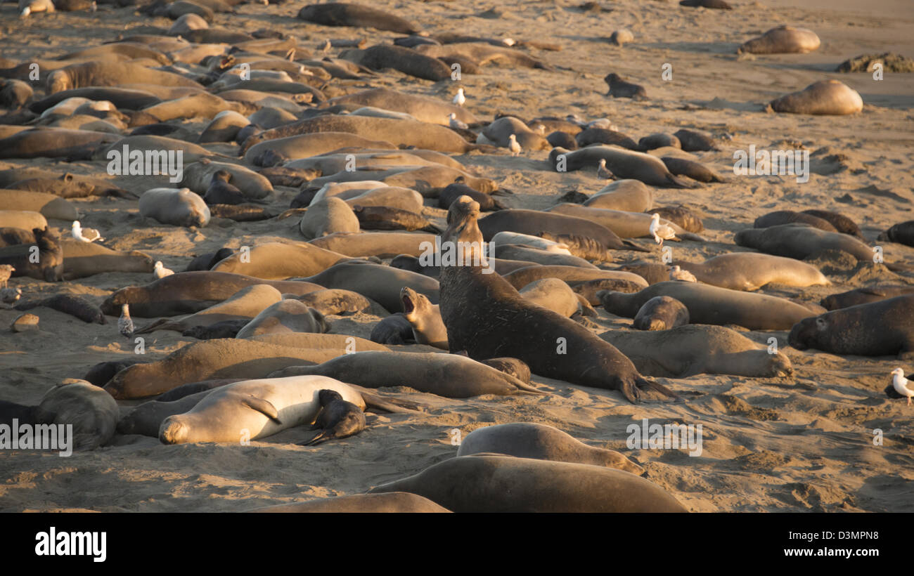 Elephant seals on sandy beach breeding grounds near San Simeon on Highway One coastal road Central California USA - Stock Image