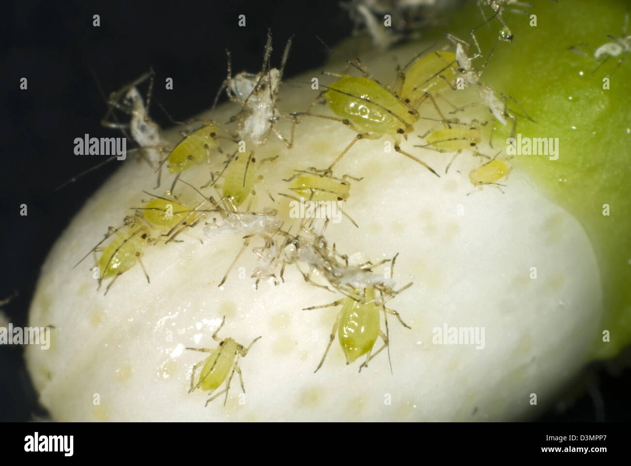 Mottled arum aphid, Aulacorthum circumflexum, infestation and honeydew on conservatory lemon flower buds - Stock Image