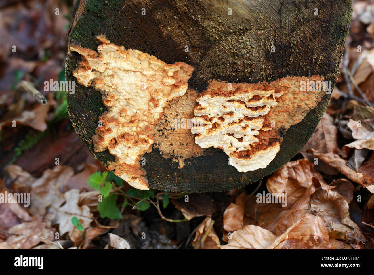 Root Rot, Root Fomes, Heterobasidion annosum (Fomes annosus), Bondarzewiaceae. Growing on a Recently Felled Conifer - Stock Image