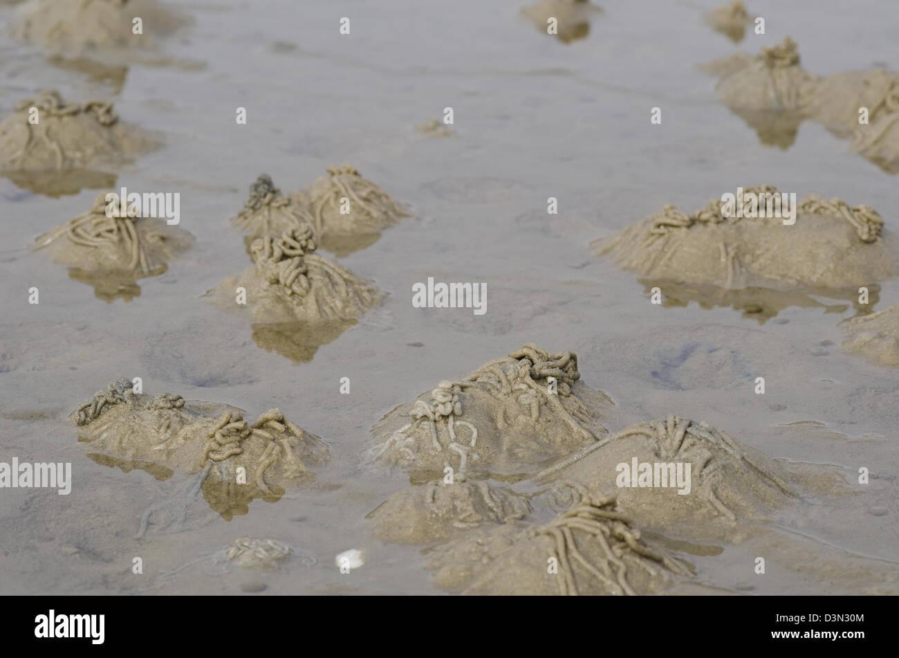 Burrows of the lugworm or sandworm, Arenicola marina, in the wadden sea - Stock Image