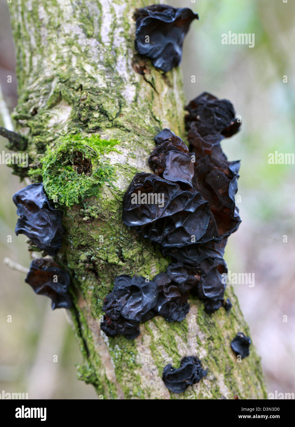Witches' Butter, Exidia glandulosa, Auriculariaceae.  A Common Black Fungus Growing on a Dead Elder Branch. - Stock Image