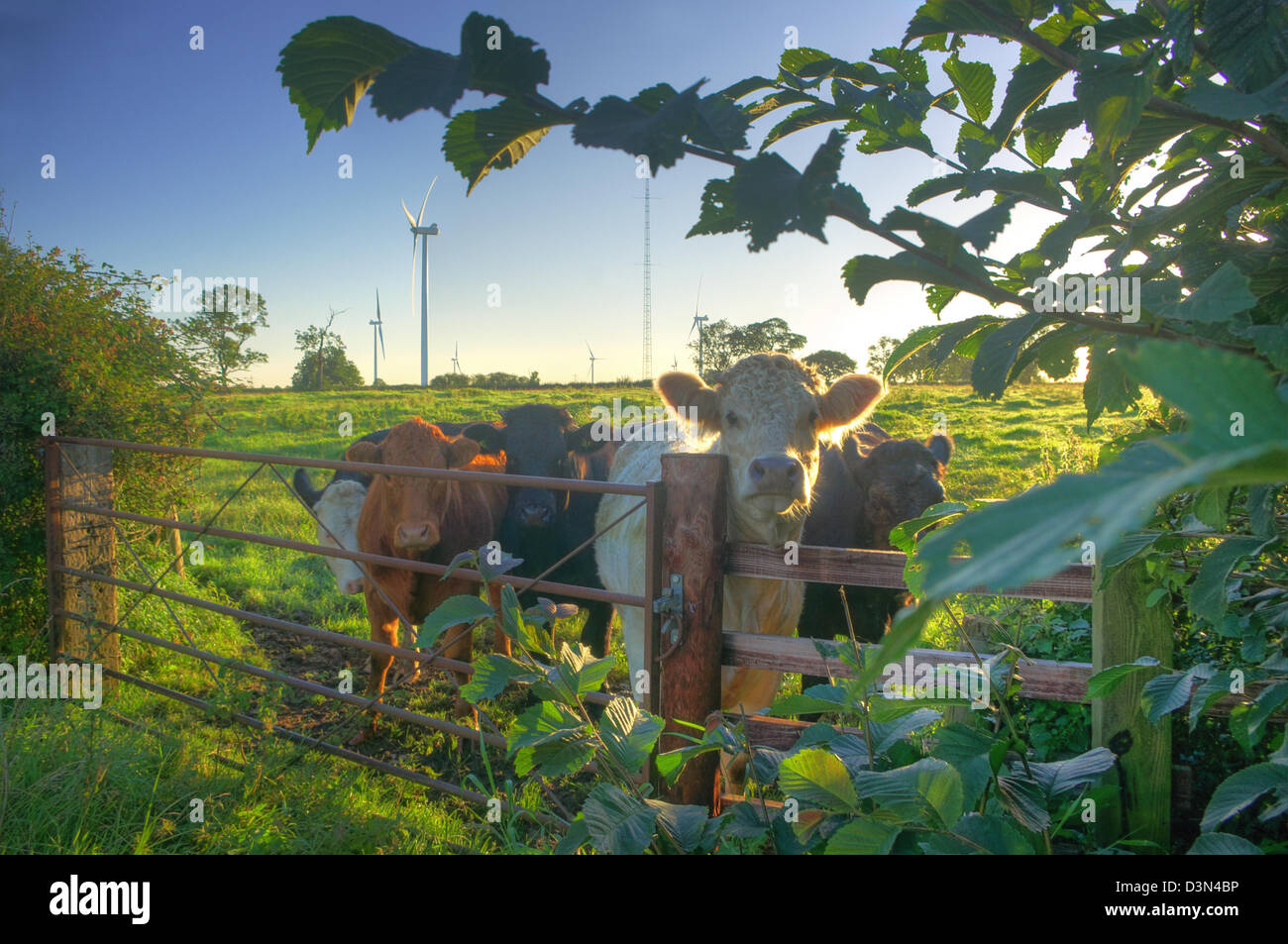 Inquisitive cattle in front of Swinford Wind Farm (near Rugby), half an hour after sunrise on a late summer morning. Stock Photo