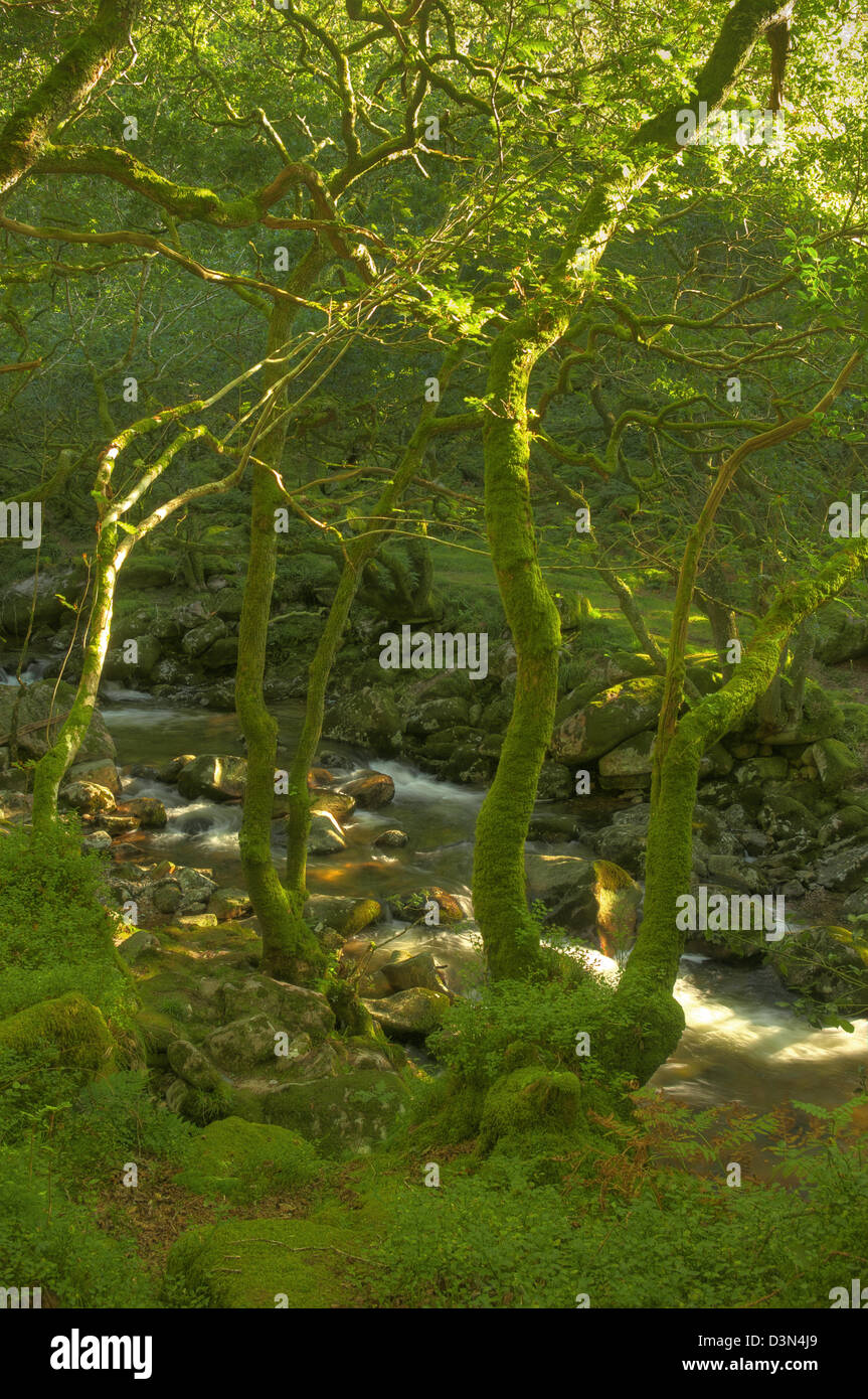 Late afternoon sunlight raking through the trees above the River Plym on Dartmoor Stock Photo
