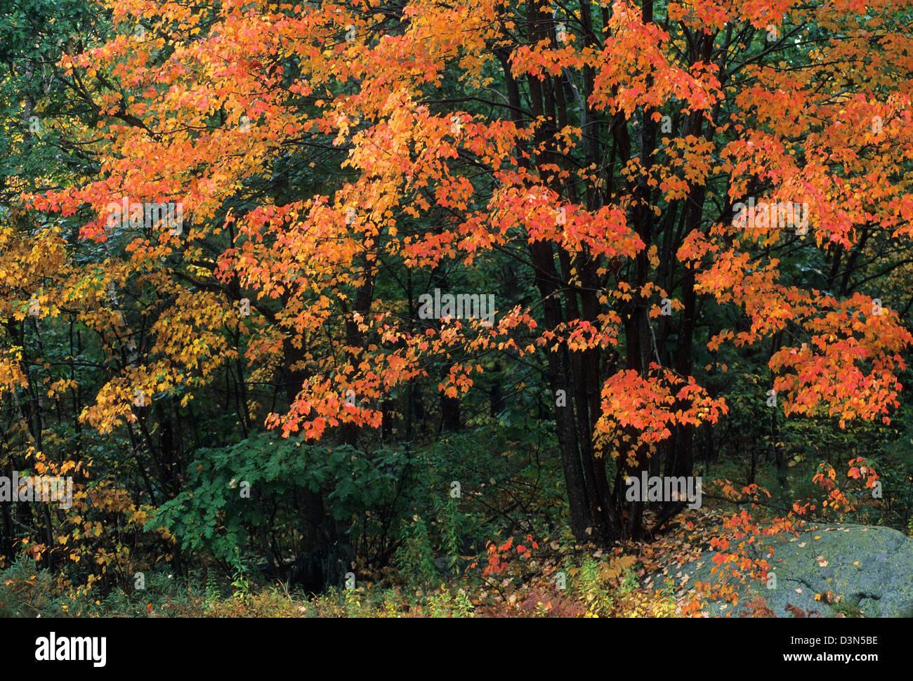 Elk282-2236 Maine, Acadia National Park, autumn foliage - Stock Image