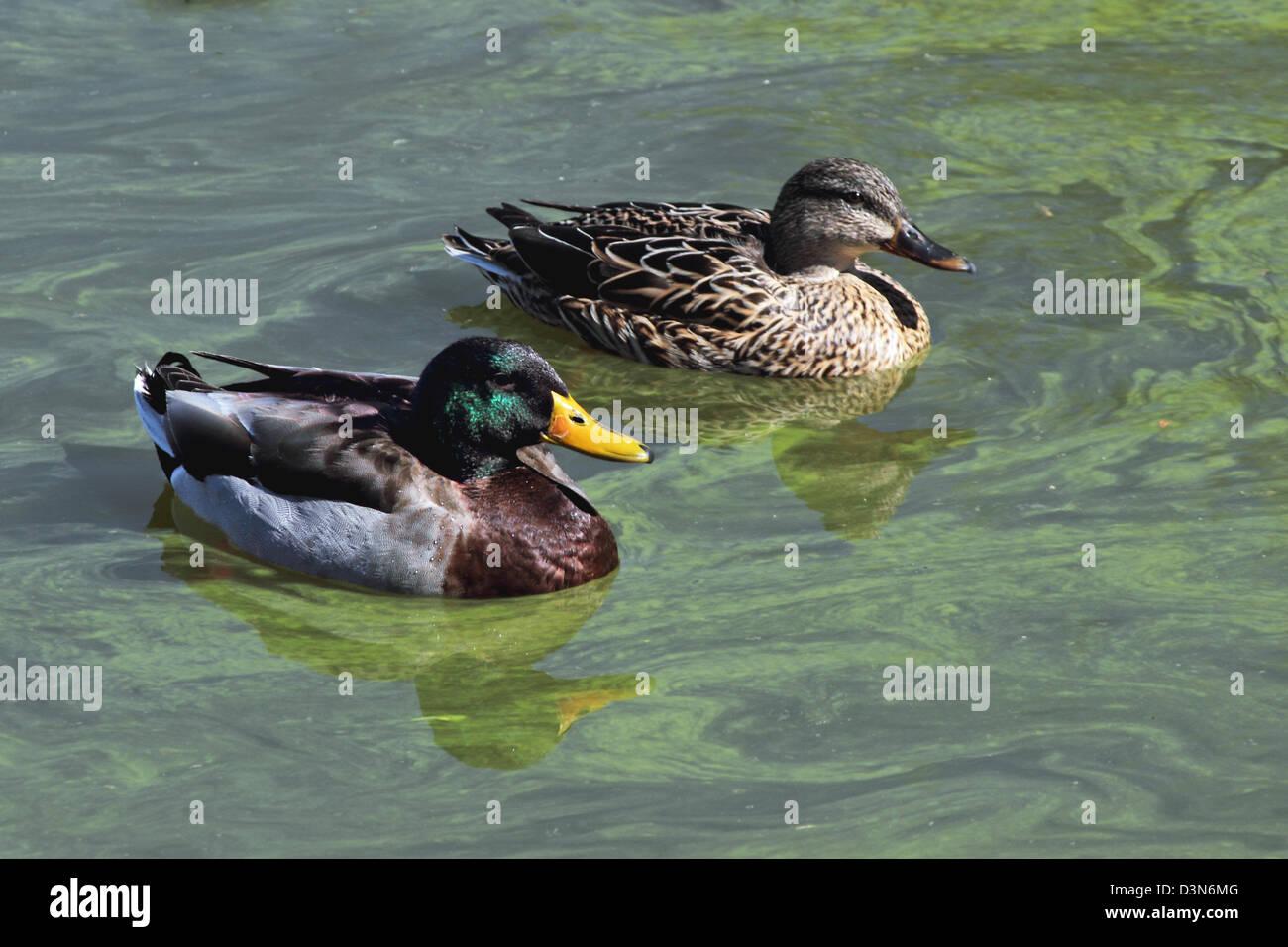 Two Mallard Ducks A Male And Female Swim On An Algae Covered Pond