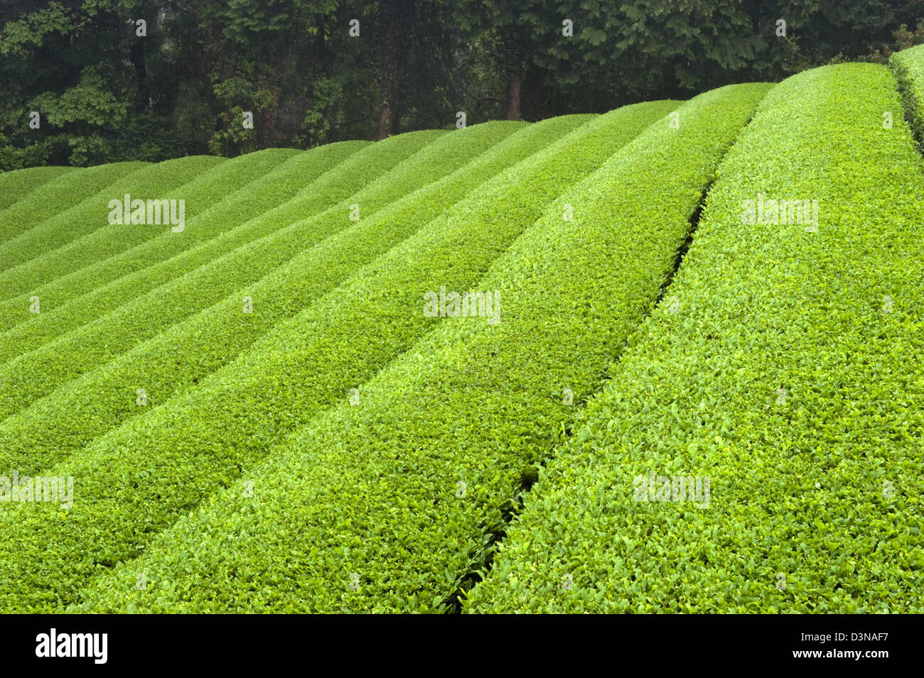 how to grow green tea